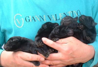 ラブラドールブラック(黒ラブ)の子犬オス3頭メス2頭、生後10日画像
