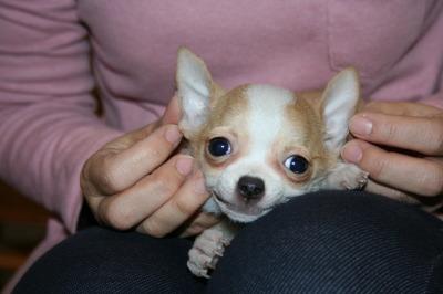 チワワスムース白茶の子犬メス、生後3ヶ月画像