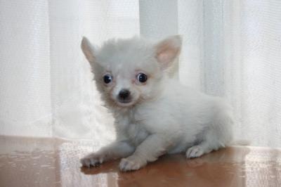 チワワロングクリーム(ホワイト)の子犬メス、生後2ヶ月画像