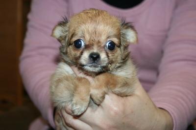 チワワロングレッドの子犬メス、生後2ヶ月画像