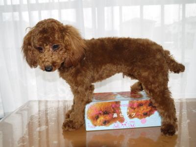 トイプードルレッドの子犬オス、生後6ヶ月画像