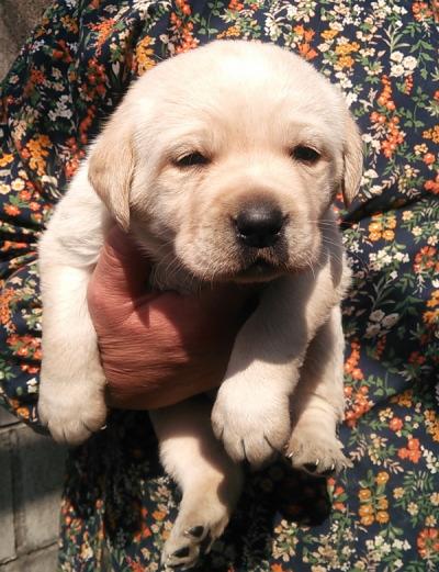 ラブラドールレトリバーイエロー(クリーム)の子犬メス、生後1ヶ月画像