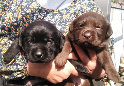 黒ラブオスとチョコラブメスの子犬、生後1ヶ月画像