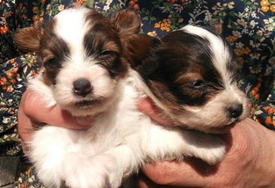パピヨン白茶の子犬メス2頭、生後1ヶ月画像