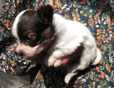 パピヨン白茶の子犬メス、生後1ヶ月画像