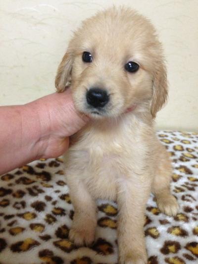 ゴールデンレトリバーの子犬メス、生後50日画像