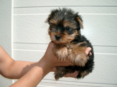 ヨークシャテリアの子犬メス、生後2ヶ月画像
