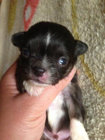 チワワロングブラック&ホワイトの子犬オス画像