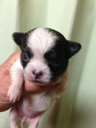チワワロングホワイト&ブラックの子犬メス画像