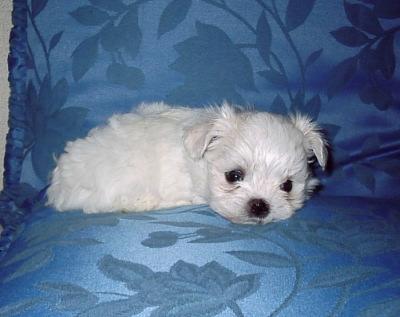 マルチーズの子犬メス、生後2ヶ月画像