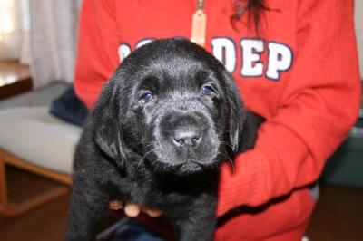 ラブラドール黒(ブラック)の子犬メス、生後2ヶ月画像