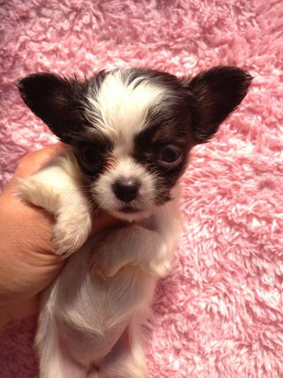 チワワロングホワイト&ブラックの子犬メス、生後2ヶ月画像