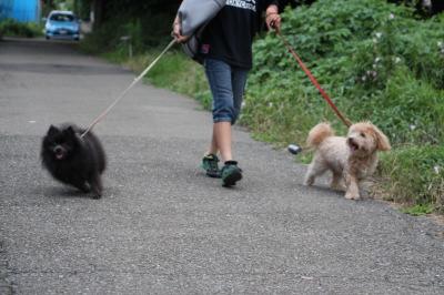 ポメラニアン黒(ブラック)とトイプードルとシーズーのミックス犬画像