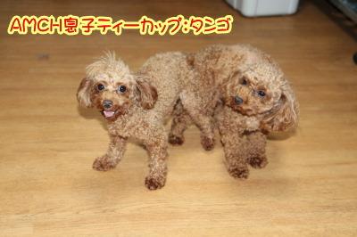 トイプードルレッド犬の交配、種オスティーカッププードルレッドタンゴ画像