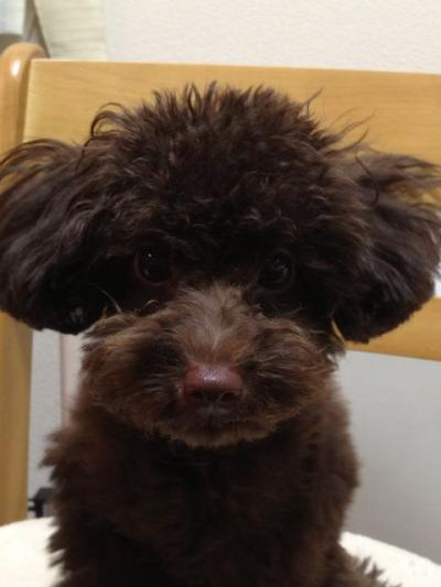 トイプードルブラウンの子犬オス、生後5ヶ月画像