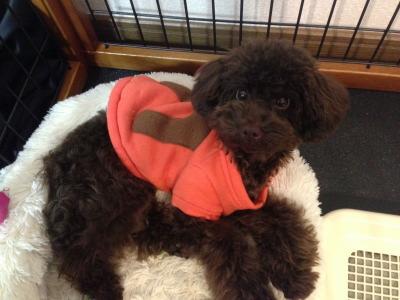 トイプードルブラウンの子犬オス、生後8ヶ月画像