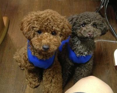 トイプードルブラウンとレッドの多頭飼い、福岡県福岡市画像