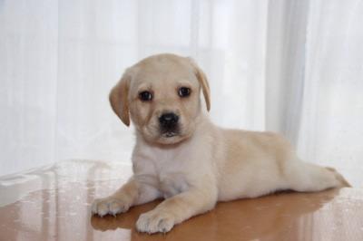ラブラドールイエロー(クリーム色)の子犬メス、生後50日画像