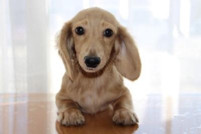カニンヘンダックスクリームの子犬オス、生後5ヶ月画像