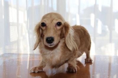 カニンヘンダックスクリームの子犬メス、生後1歳画像