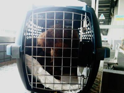 羽田空港から大阪へ子犬を空輸画像
