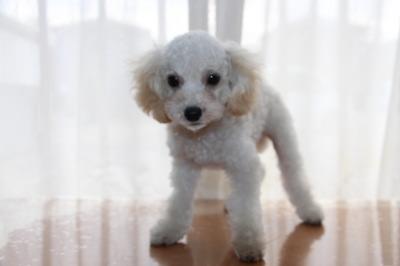 トイプードルホワイト(白色)の子犬オス、生後3ヶ月画像