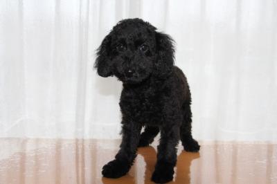 トイプードルブラック(黒色)の子犬オス、生後3ヶ月画像