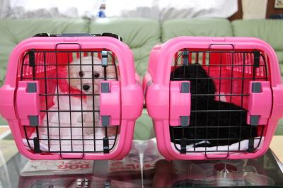 トイプードルの子犬、空輸画像