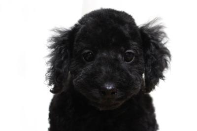 トイプードルブラック(黒色)の子犬メス、生後2ヶ月画像