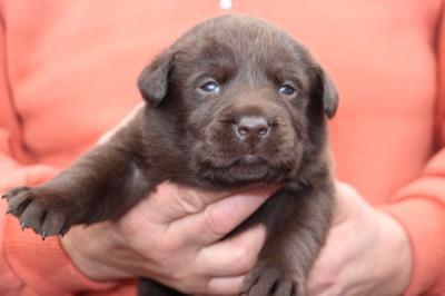 チョコラブラドールの子犬メス、生後3週間画像