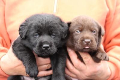 黒ラブとチョコラブの子犬オスメス、生後3週間画像