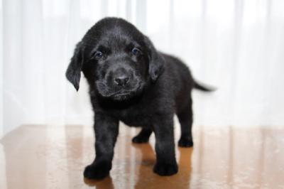 ラブラドールブラック(黒ラブ)の子犬オス、生後7週間画像