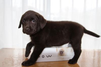 ラブラドールチョコレート色(チョコラブ)の子犬メス、生後7週間画像