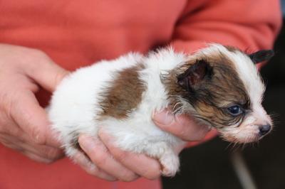 パピヨン白茶の子犬オス、生後1ヶ月画像