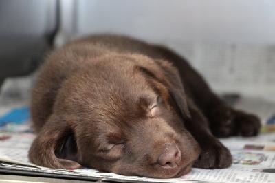 ラブラドールチョコレート色(チョコラブ)の子犬メス、生後8週間画像