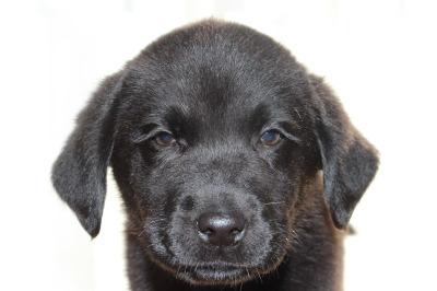 ラブラドールブラック(黒ラブ)の子犬オス、生後2ヶ月画像