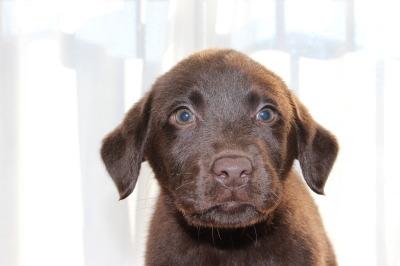 ラブラドールチョコレート色(チョコラブ)の子犬メス、生後2ヶ月画像