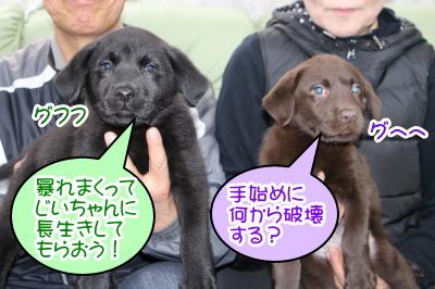 黒ラブオスとチョコラブメスの子犬、生後2ヶ月画像