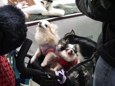 チワワクリームと白黒パーティーカラー成犬画像