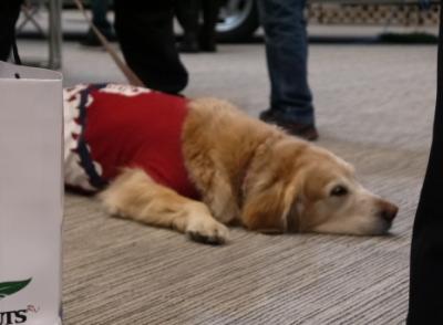 ゴールデンレトリバー成犬画像