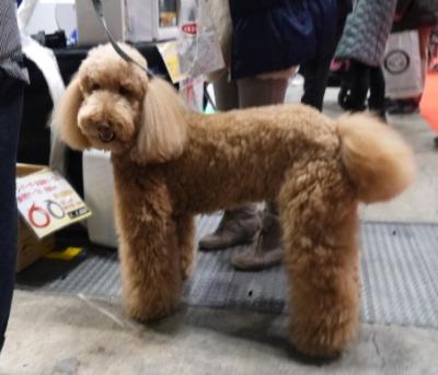 スタンダードプードルレッド成犬画像