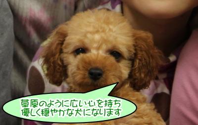 トイプードルアプリコットの子犬オス、生後2ヶ月画像