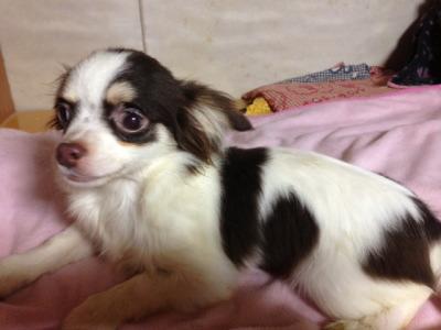 チワワチョコタンホワイトの子犬オス、生後5ヶ月画像