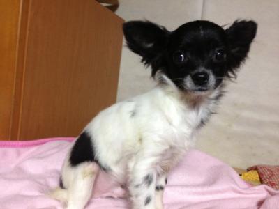 チワワホワイト&ブラック(白黒)の子犬オス、生後4ヶ月半画像