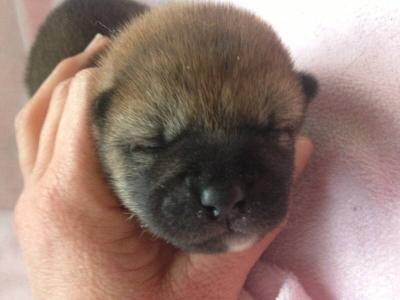 柴犬の子犬オスメス、生後10日画像
