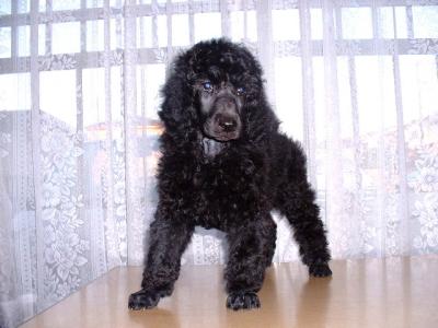 スタンダードプードルブラック(黒色)の子犬メス、生後2ヶ月画像