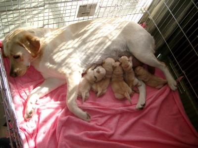 ラブラドールイエロー(クリーム色)の子犬オスメス、生後2週間画像