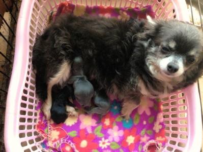 チワワブルーメス成犬出産画像