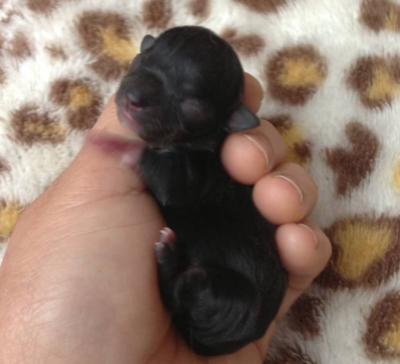 チワワブラックソリッドメスの子犬画像
