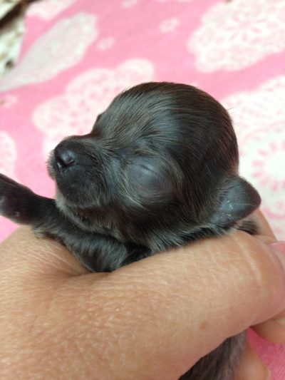 チワワブルーメスの子犬画像